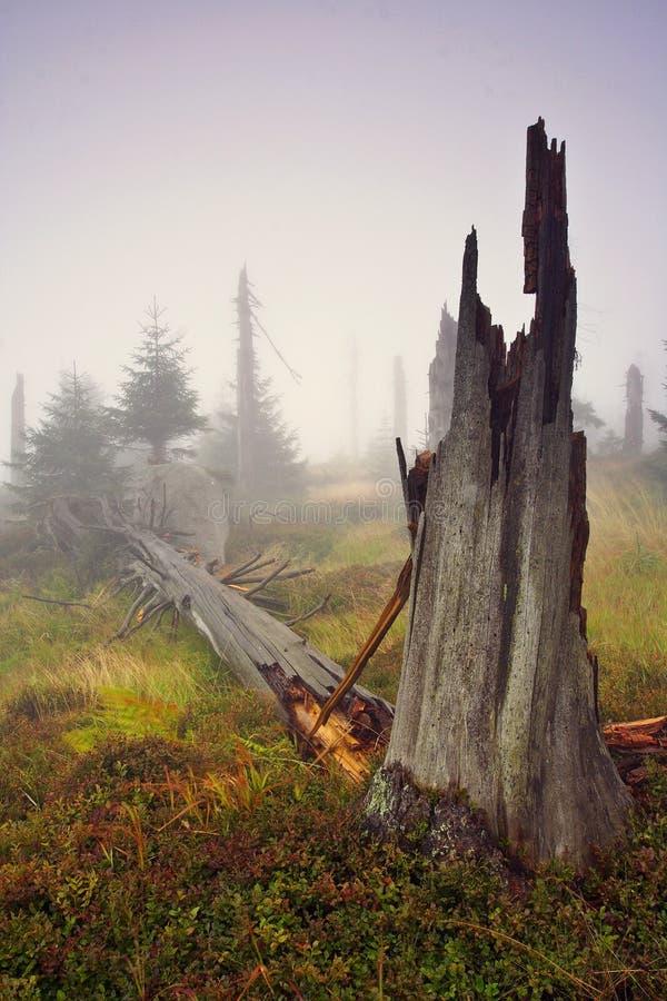 Mañana brumosa en bosque muerto fotos de archivo