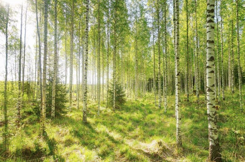 Mañana caliente de la primavera en el bosque con luz del sol brillante fotos de archivo
