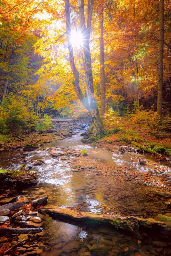 Mañana de otoño en el bosque salvaje con verdadero sol, coloridos árboles grandes y un río de montaña rápido imagenes de archivo