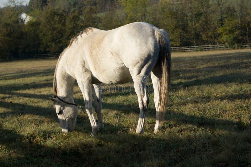 Mañana del caballo blanco que pasta fotografía de archivo libre de regalías