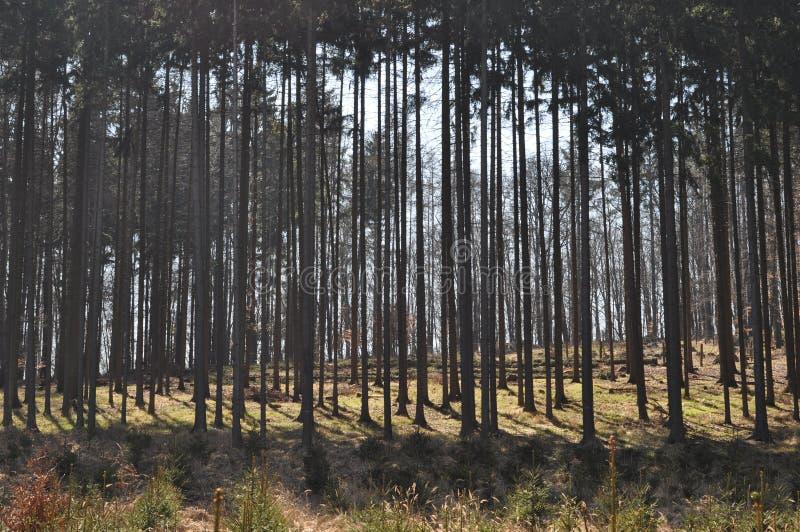 Mañana después de la lluvia de la noche por mañana brumosa soleada del bosque conífero del verano Porción de árboles en campo che fotos de archivo libres de regalías