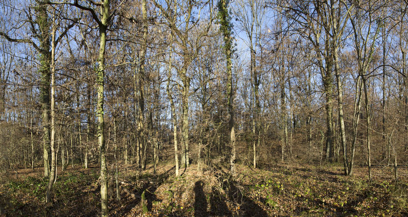 Mañana en bosque del roble con el rayo de sol imagen de archivo libre de regalías