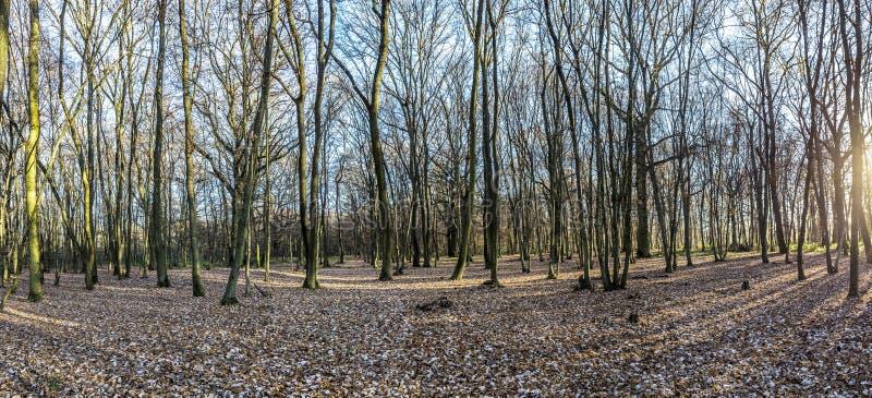 Mañana en bosque del roble con el rayo de sol imagen de archivo