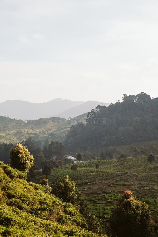 Mañana en la plantación de té fotografía de archivo
