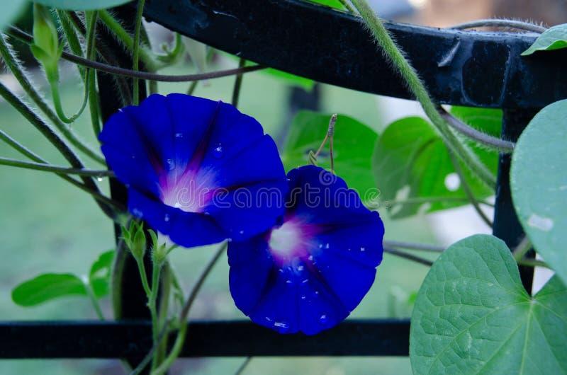 Mañana Glory Dew imagen de archivo libre de regalías