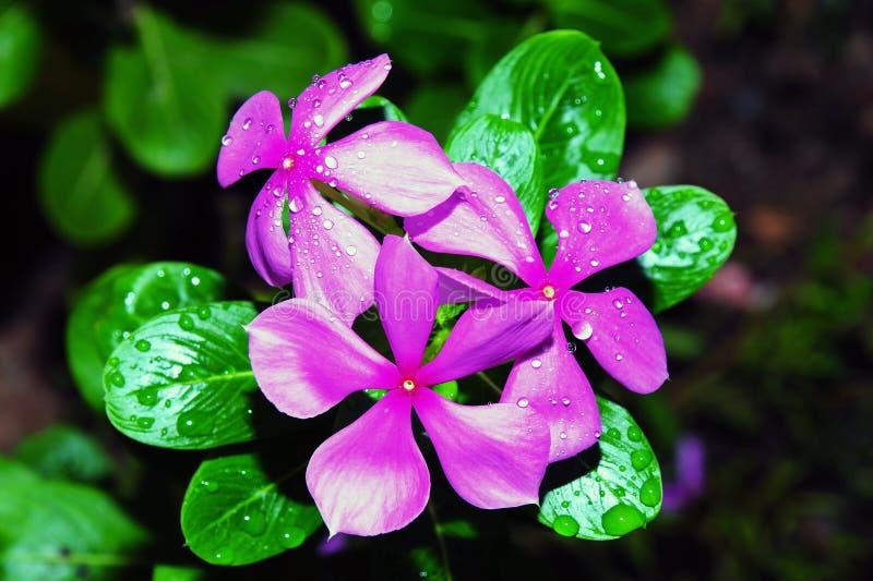 Mañana Glory Flower imagenes de archivo