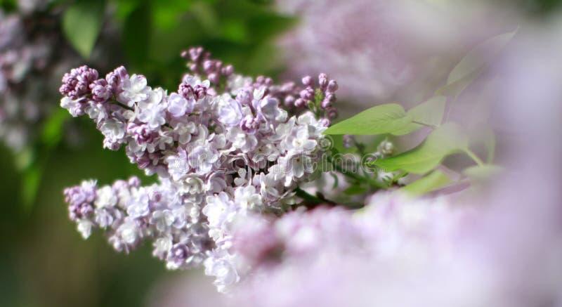 Mañana romántica en Syringa Vulgaris flores de lila con frente borroso foto de archivo libre de regalías