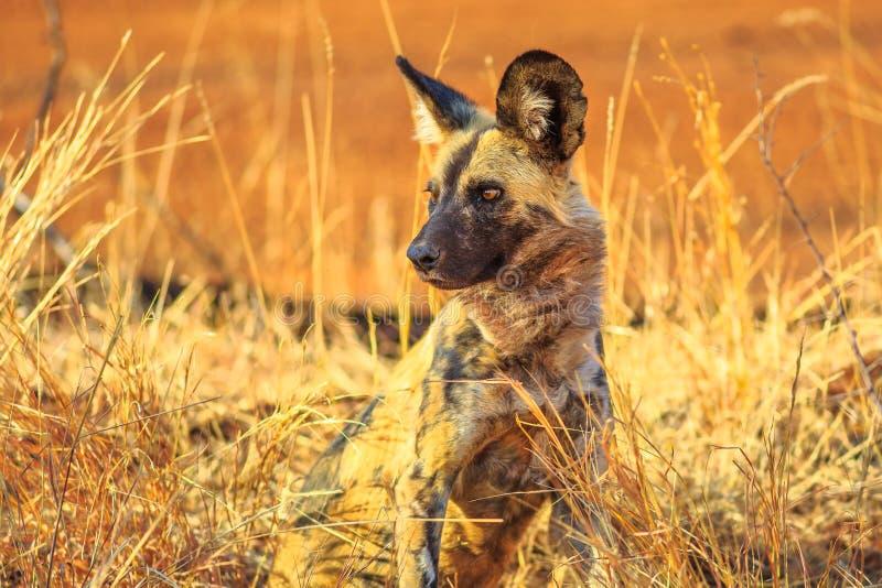 Mała Łaciasta hiena zdjęcia royalty free