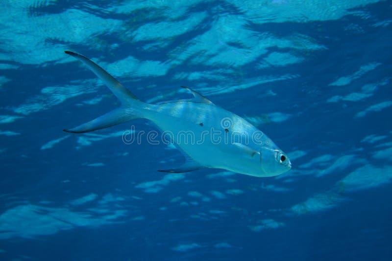 Mała łaciasta strzałki ryba obraz royalty free
