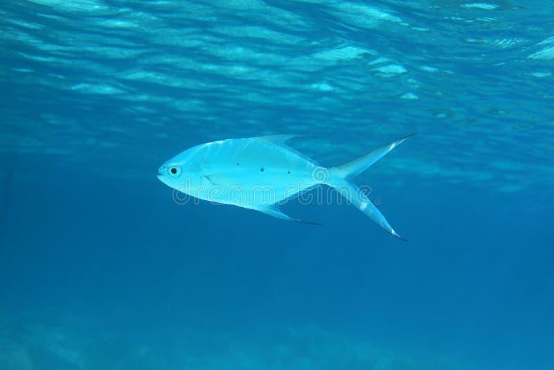 Mała łaciasta strzałki ryba obrazy royalty free