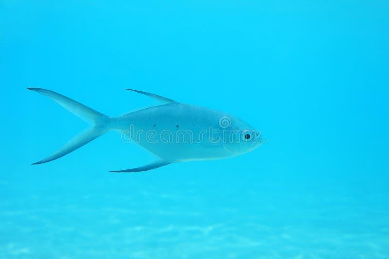 Mała łaciasta strzałki ryba fotografia royalty free