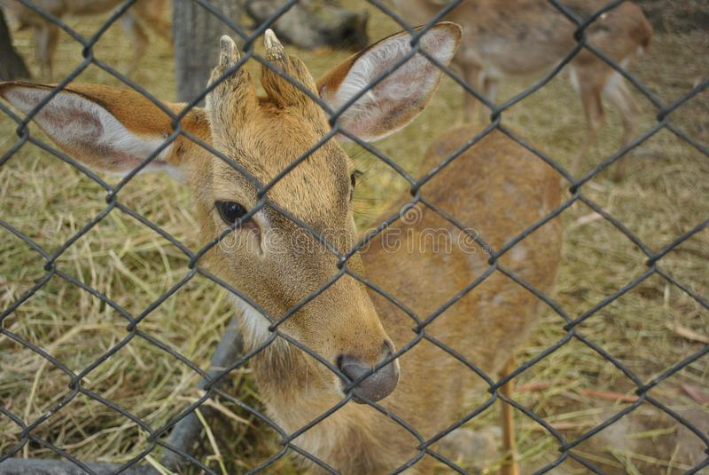 Mała śliczna jelenia gapiowska kamera przez drucianej siatki klatki zdjęcie stock