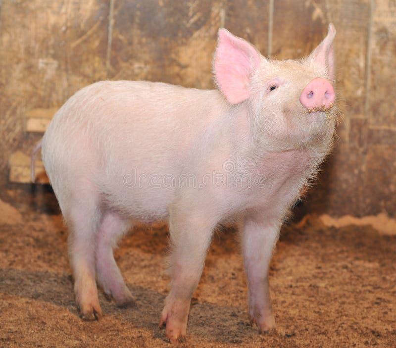 mała świnia zdjęcia stock