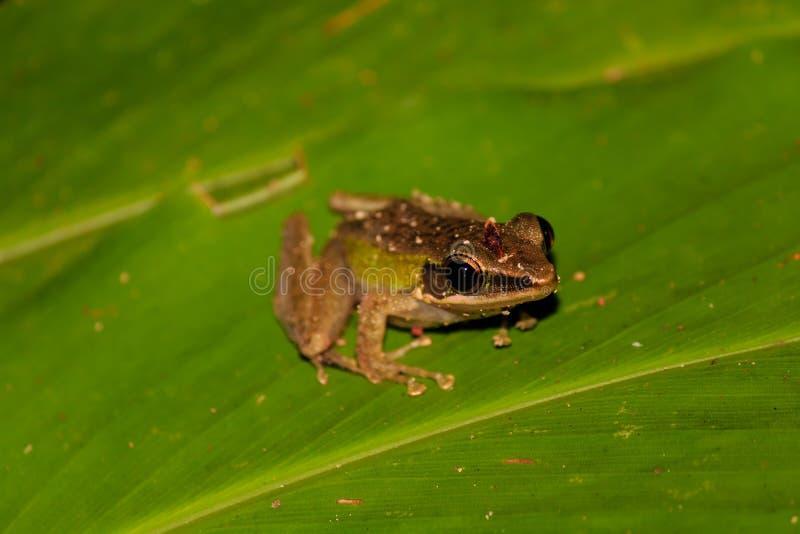 Mała żaba na liściu w tropikalnym lesie deszczowym przy nocą obraz stock