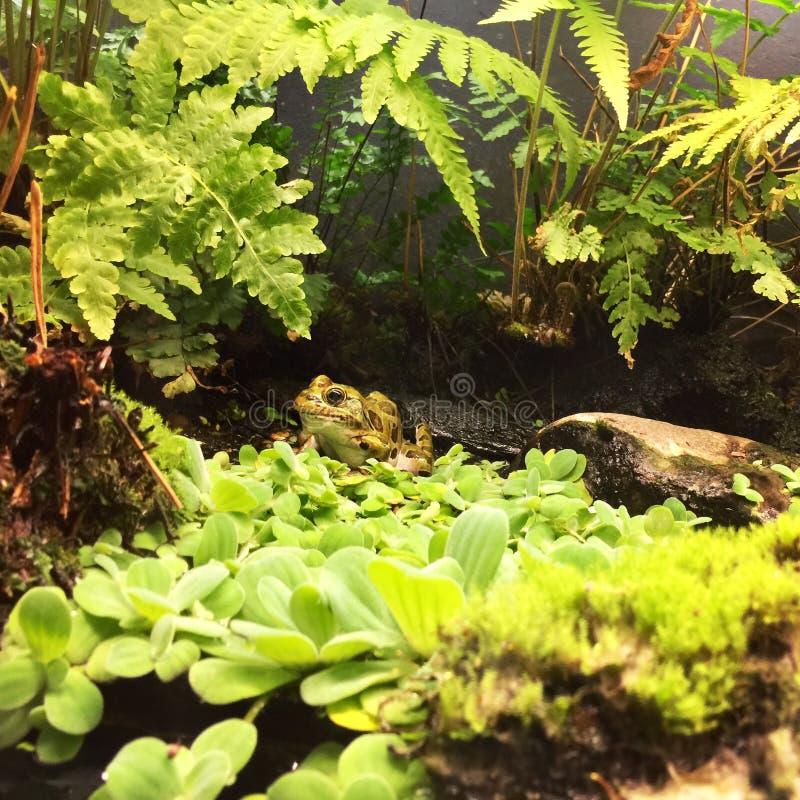 Mała żaba w zieleniach obraz royalty free