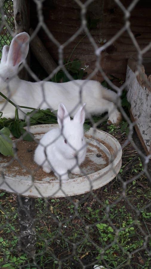 Mała biała figlarka zdjęcie stock