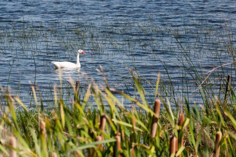 Mała biała kaczka sama w jeziorze zdjęcie royalty free