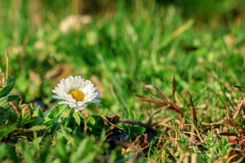Mała biała stokrotka która otaczają trawą zdjęcia royalty free