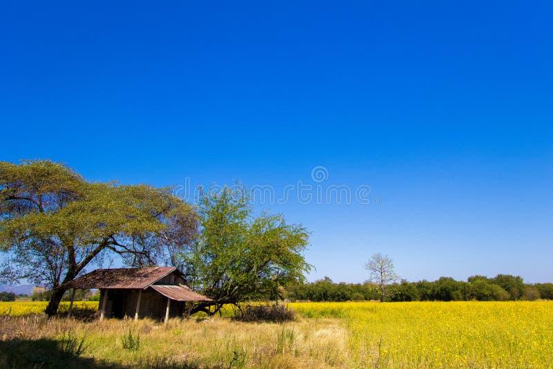 Mała buda w żółtych polach Crotalaria junceasunn konopie w Phetchabun prowinci, północny Tajlandia fotografia stock