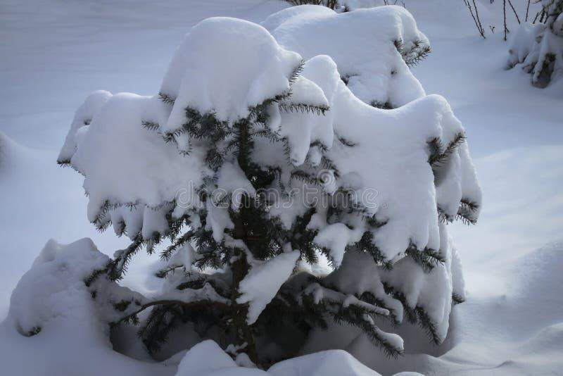Mała choinka całkowicie zakrywa z białym puszystym śniegiem obrazy stock