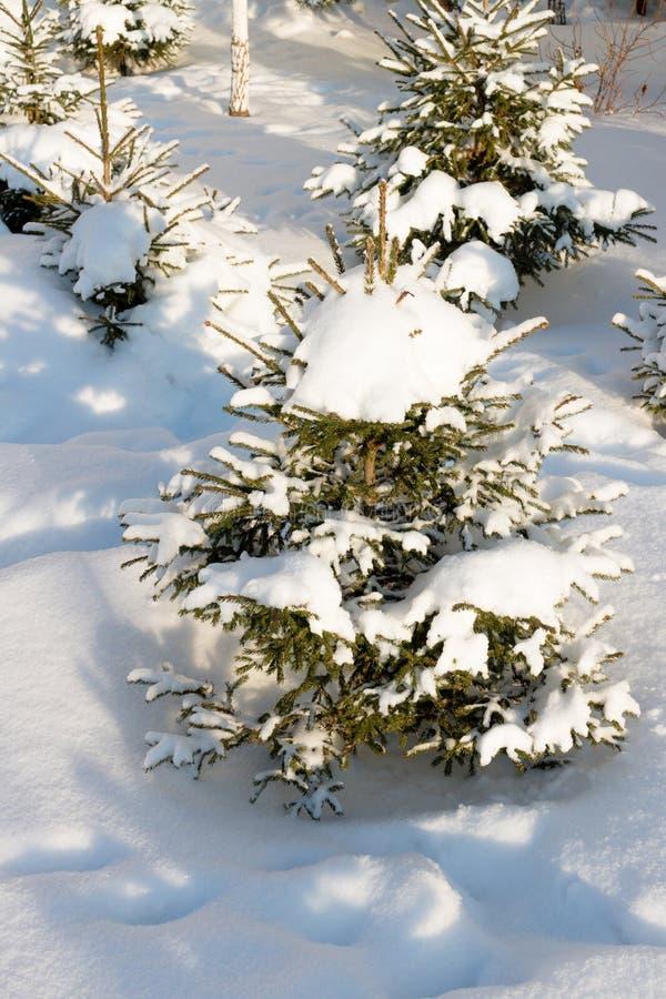Mała choinka zakrywająca z śniegiem, biały tło Rosyjska natura zdjęcie stock