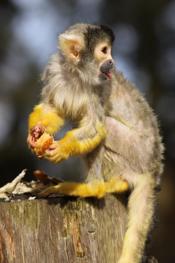 Download Mała Czarny Nakrywająca Wiewiórcza Małpa Zdjęcie Stock - Obraz złożonej z ssak, zwierzę: 13333058