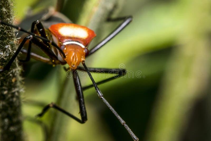 Mała czerwona dysdercus hemiptera pluskwa zdjęcia stock