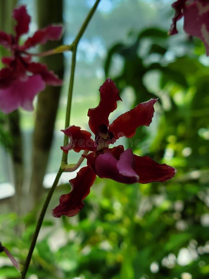 Mała czerwona orchidea obraz royalty free