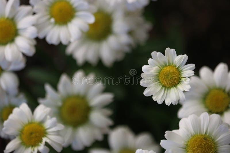 mała daisy zdjęcie stock
