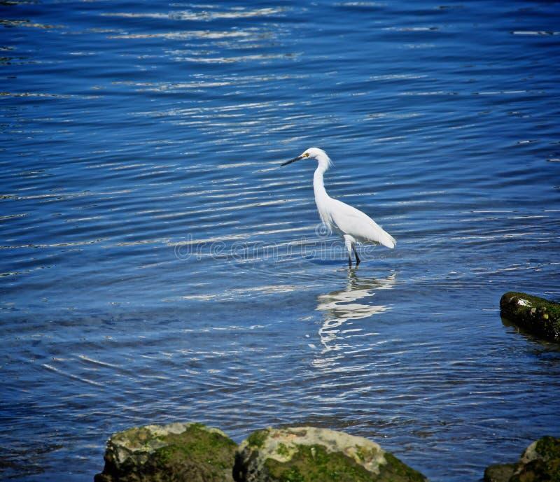 mała egret rzeka fotografia royalty free