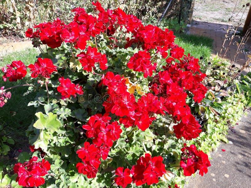 Mała i Piękna czerwień kwitnie w ogródzie obrazy royalty free