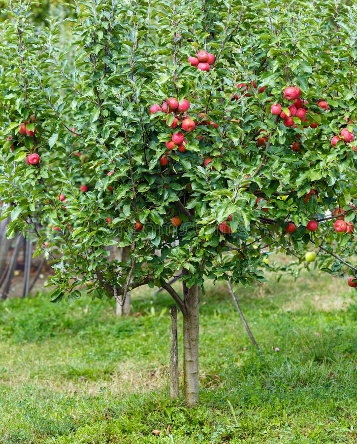 Mała jabłoń w ogródzie zdjęcia stock