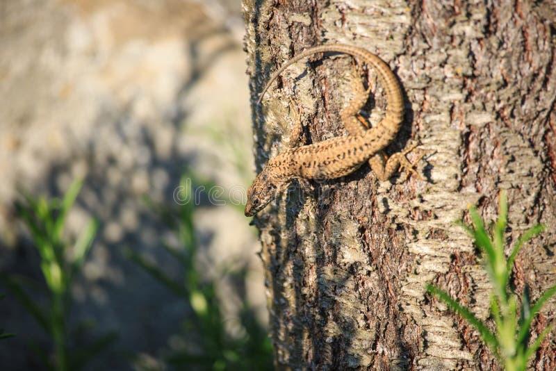 Mała jaszczurka na drzewie fotografia royalty free