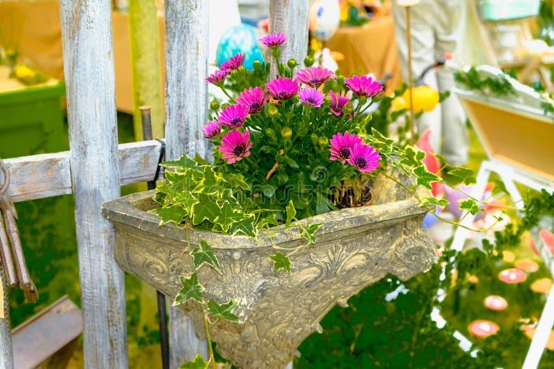 Mała kępa purpury różowi ite purpura ześrodkowywającej Afrykańskiej stokrotki Osteospermum fotografia royalty free