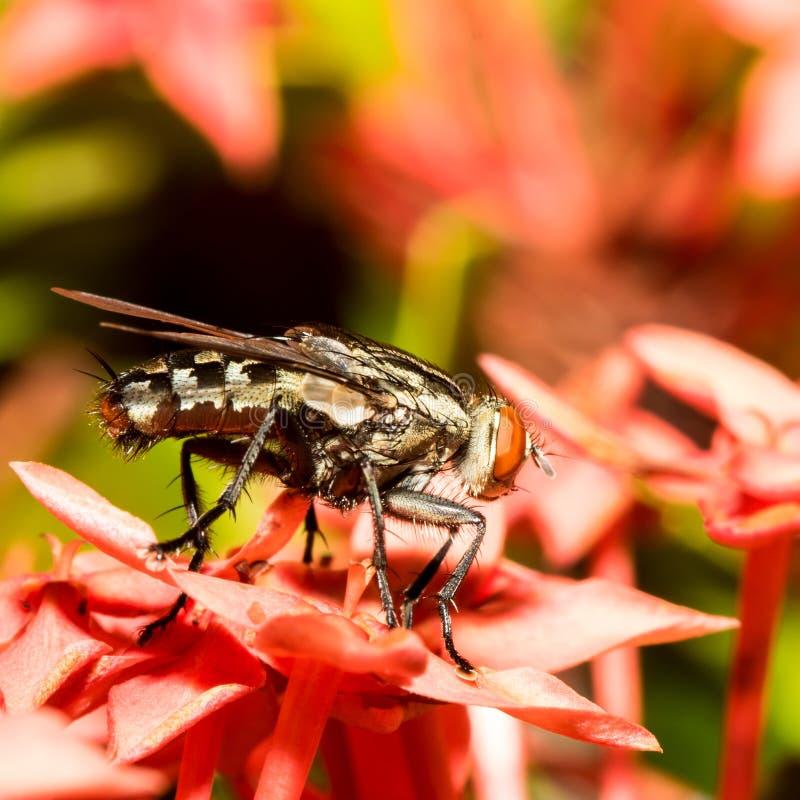 Mała komarnica fotografia royalty free
