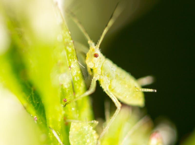 Mała korówka na zielonym liściu w na wolnym powietrzu obraz royalty free