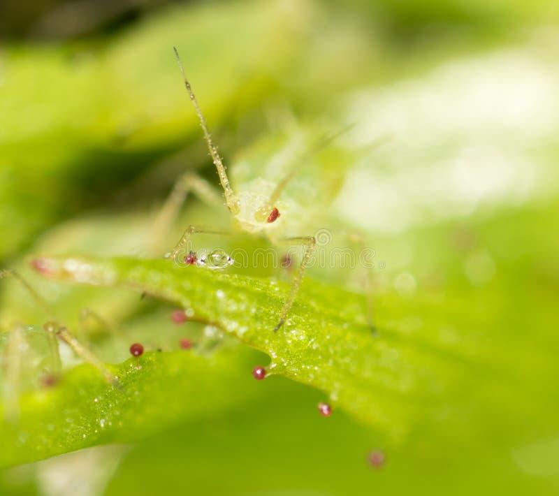 Mała korówka na zielonym liściu w na wolnym powietrzu obrazy stock