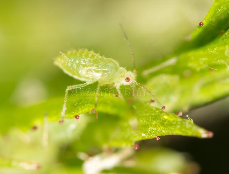 Mała korówka na zielonym liściu w na wolnym powietrzu obraz stock