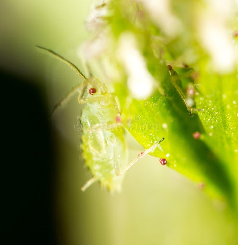 Mała korówka na zielonym liściu w na wolnym powietrzu fotografia stock