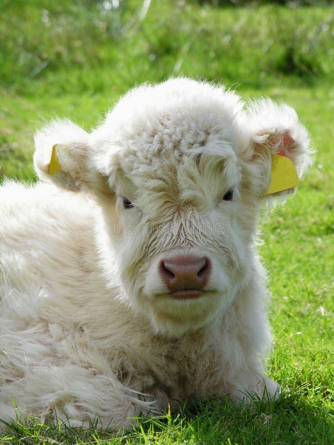 mała krowa fotografia stock