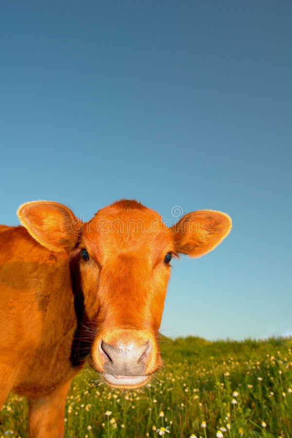 mała krowa fotografia royalty free