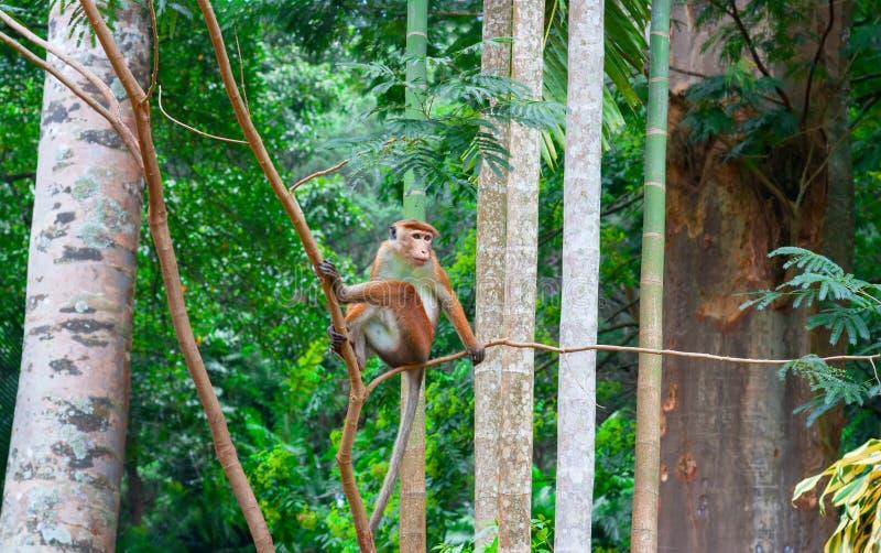 Mała małpa w dzikim obraz royalty free