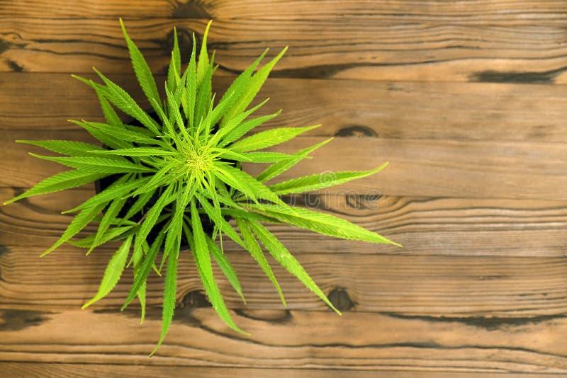 Mała medyczna marihuany roślina na garnku zdjęcie royalty free