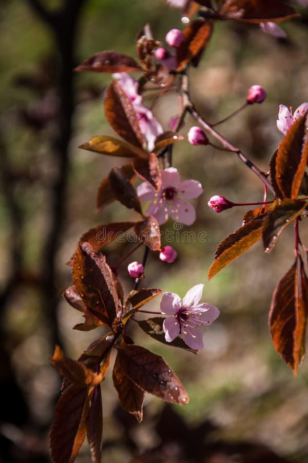 Mała menchia kwitnie kwitnienie w prześwietnej naturze obraz royalty free