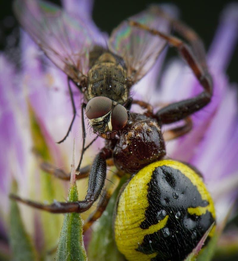 Mała miodowa pszczoła łapiąca pająkiem zdjęcia royalty free