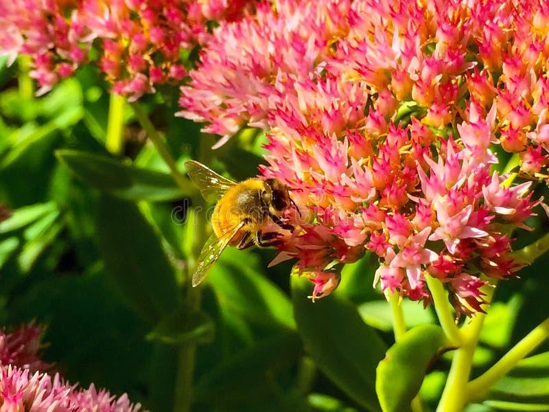 Mała Miodowa pszczoła obrazy royalty free