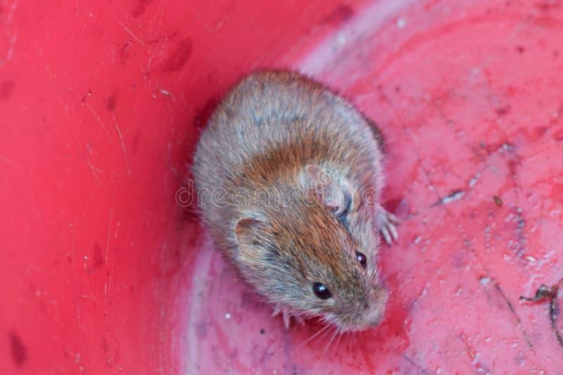 Mała mysz w menchii wiadrze z oczami obrazy stock
