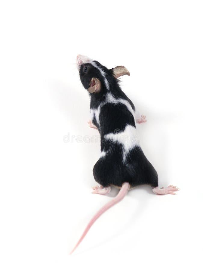 mała myszka obrazy royalty free