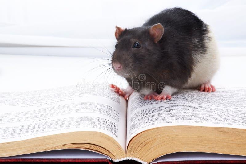 mała myszka fotografia royalty free