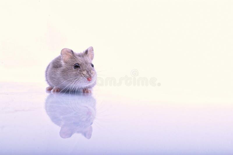 mała myszka fotografia stock